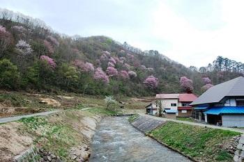 戸石の山桜
